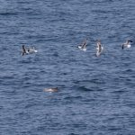 Onderzoek moet zorgen voor betere afstemming windparken op zee en vogeltrek