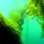 Zeewier biedt kansen zoals golfslagdemping in toekomstige offshore windparken